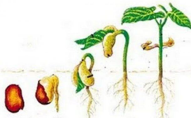 Hormon-Giberelin-Yang-Mempengaruhi-Pertumbuhan