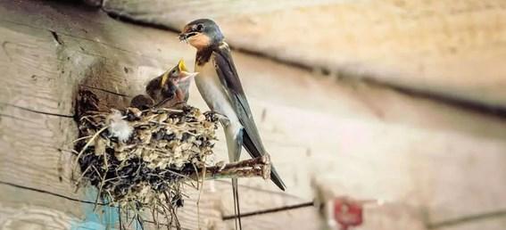 Harga-dan-Manfaat-Sarang-Burung-Walet